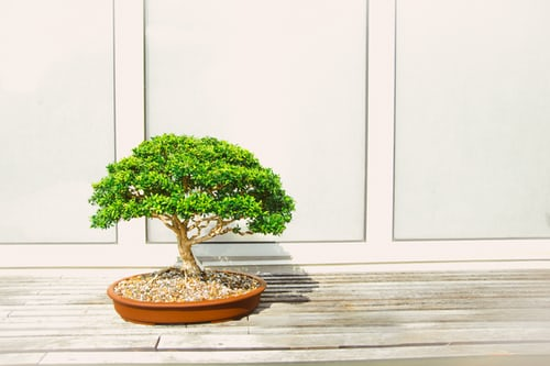 How To Take Care Of A Japanese Juniper Bonsai